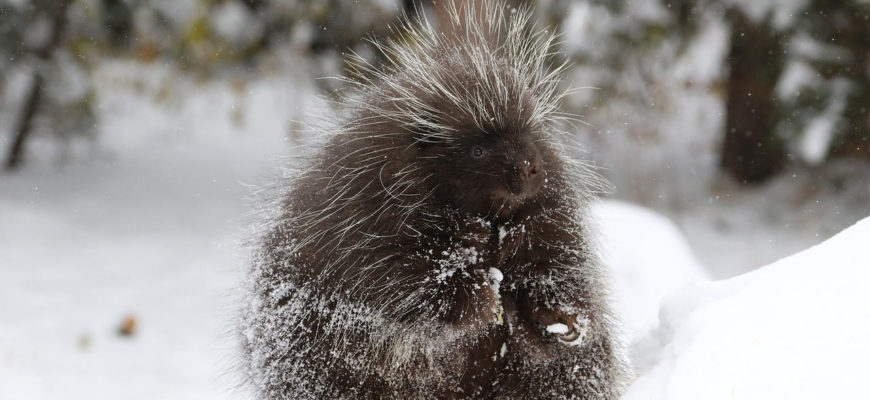 Porcupines – A Prickly Wild Neighbour