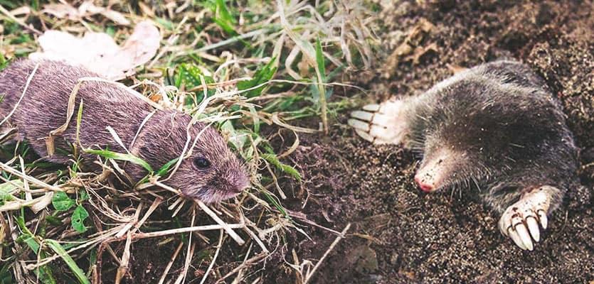 Voles vs Moles