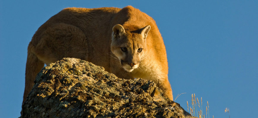 Cougar, Puma, Panther or Mountain Lion?