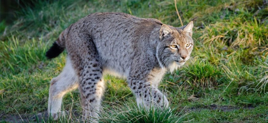 Canada's Wild Cats – the Elusive Bobcat