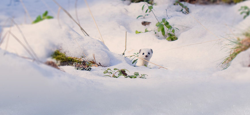 The Weasel, a Camouflage Master