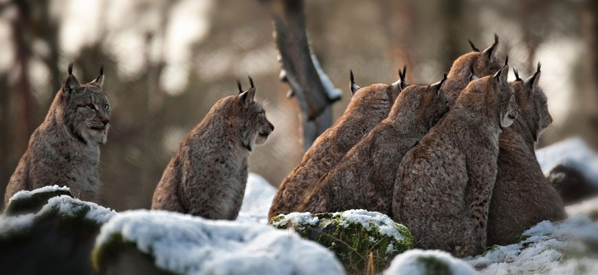 More of Canada's Majestic Wild Cats: The Lynx